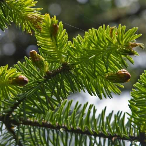 Picea sitchensis - Sitka Spruce - Future Forests