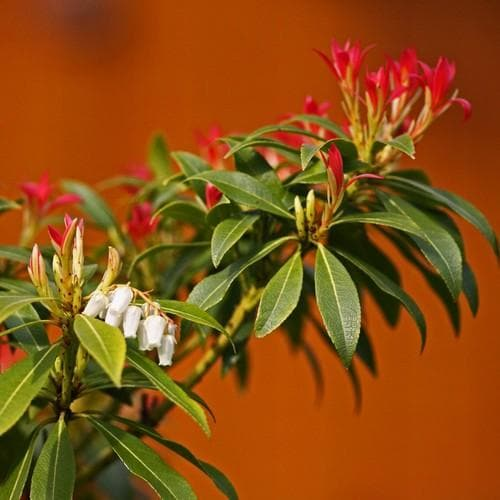 Pieris japonica Forest Flame - Future Forests