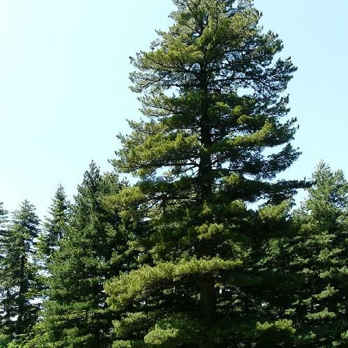Pinus peuce - Macedonian Pine - Future Forests
