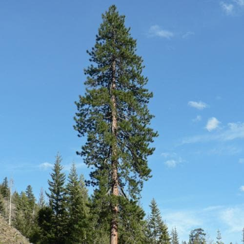 Pinus ponderosa - Western Yellow Pine - Future Forests