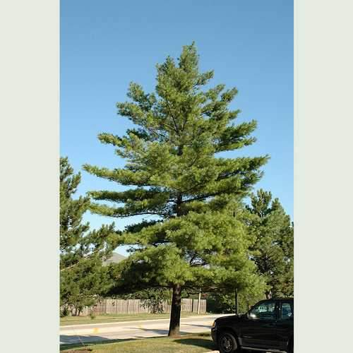Pinus strobus - Weymouth pine - Future Forests