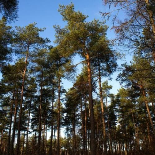Pinus sylvestris - Scots Pine - Future Forests