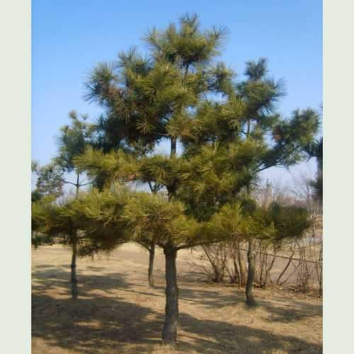 Pinus thunbergii - Japanese Black Pine - Future Forests