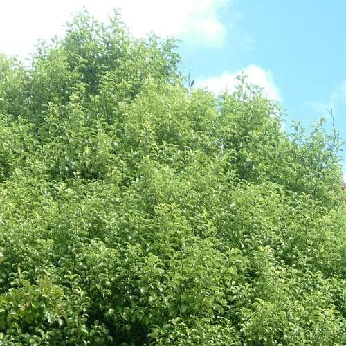 Pittosporum tenuifolium - Future Forests