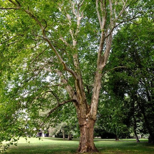 Platanus x acerifolia - London Plane - Future Forests