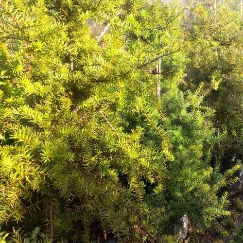 Podocarpus hallii kiwi - Future Forests