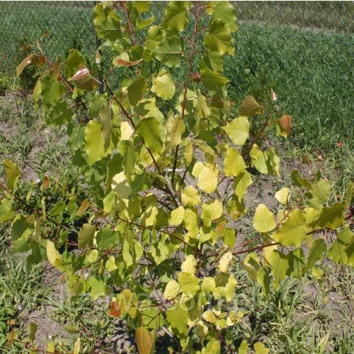Populus candicans Aurora - Variegated Poplar - Future Forests