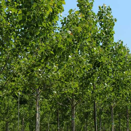 Populus robusta - Hybrid Poplar - Future Forests