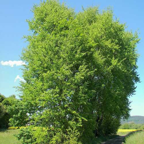 Populus tremula - Aspen - Future Forests
