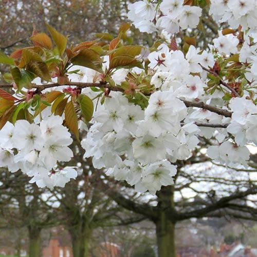 Prunus serrulata Tai Haku - Great White Cherry