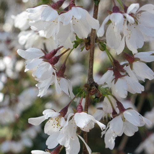 Prunus x incisa Woodfield Cluster - Future Forests