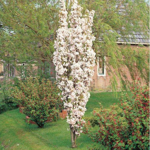 Prunus Amanogawa - Flagpole Cherry - Future Forests