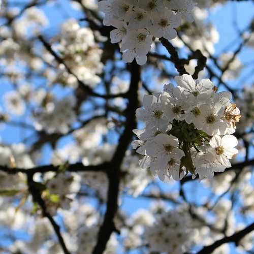 Prunus serrulata Tai Haku - Great White Cherry - Future Forests