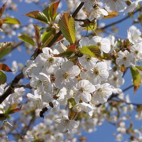 Prunus avium - Wild Cherry - Future Forests