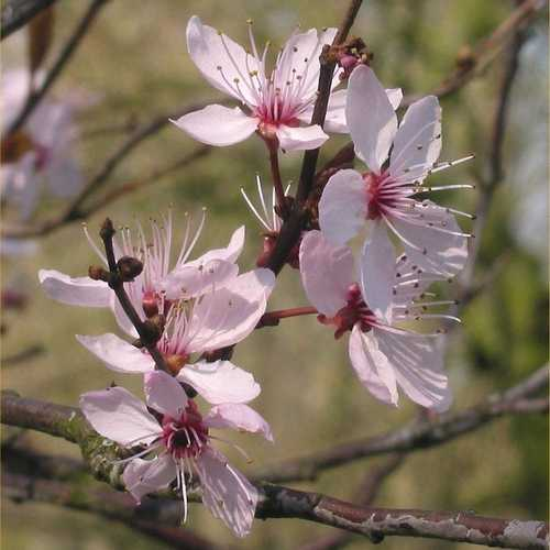 Prunus cerasifera Nigra - Purple Leaf Plum - Future Forests