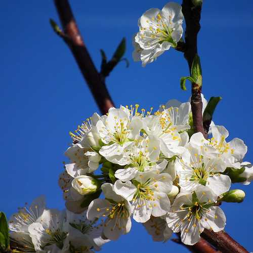 Prunus insititia - Bullace - Future Forests