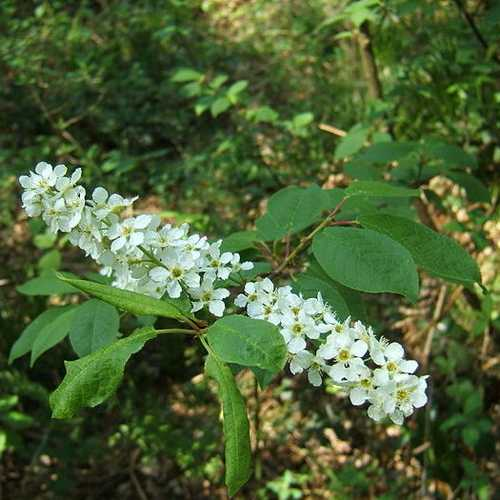 Prunus padus - Bird Cherry - Future Forests
