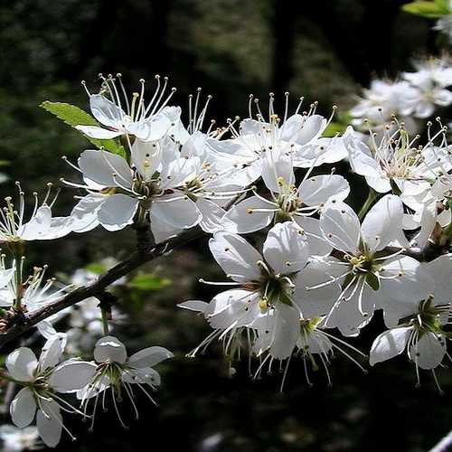 Prunus spinosa - Blackthorn - Future Forests