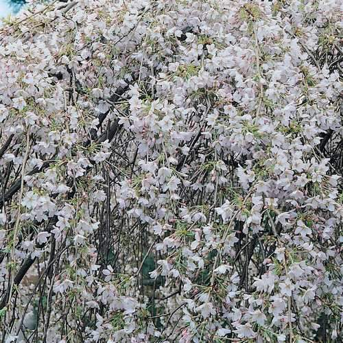 Prunus x yedoensis Shidare-yoshino - Future Forests