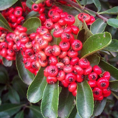 Pyracantha coccinea 'Red Column' - Future Forests