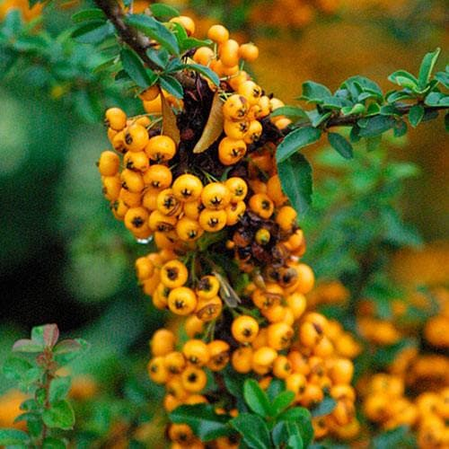Pyracantha 'Soleil d'Or' - Future Forests