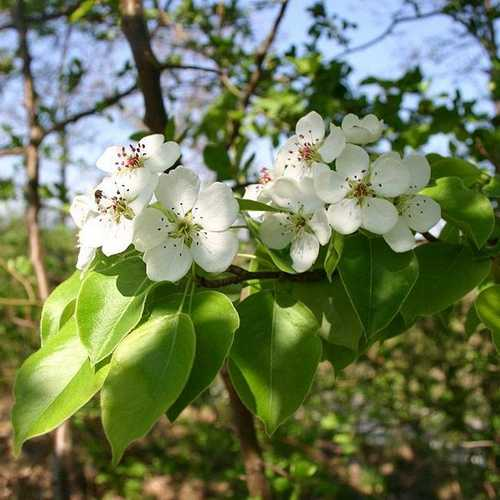 Pyrus communis - Wild Pear - Future Forests