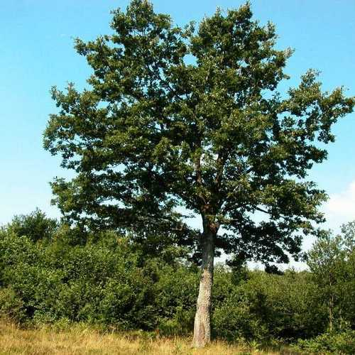 Quercus cerris - Turkey Oak - Future Forests