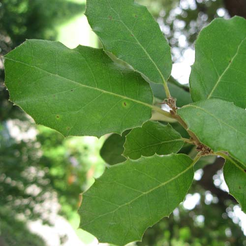Quercus ilex - Holm Oak - Future Forests