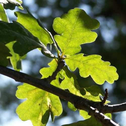 Quercus robur - Common Oak - Future Forests