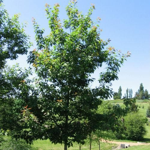 Quercus rubra - Red Oak 1-2ft Bareroot