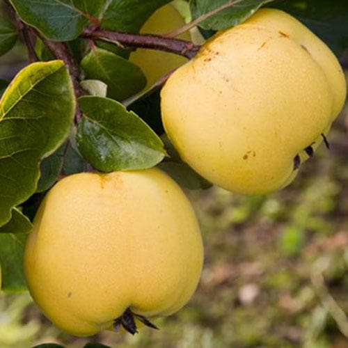 Quince Serbian Gold - Future Forests