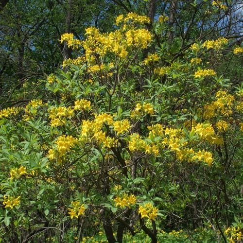Azalea (Rhododendron) luteum - Future Forests