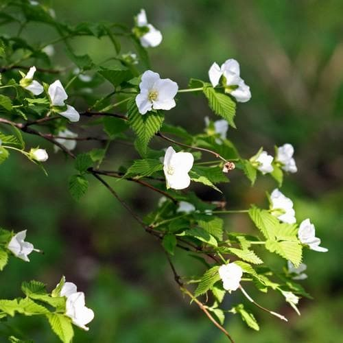 Rhodotypos scandens - Future Forests
