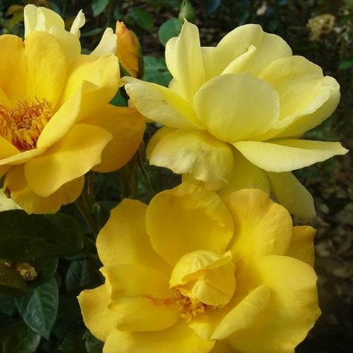 Rosa Arthur Bell - Shrub Rose