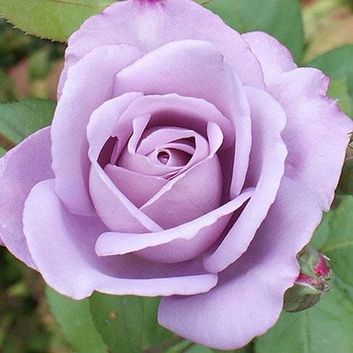 Blue Moon Rose