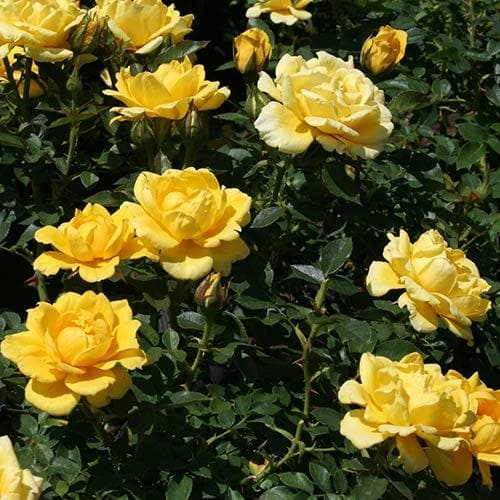 Rosa Easy Going - Floribunda Shrub Rose