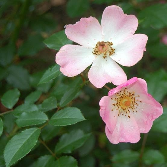 Rosa Rosy Cushion - Modern Shrub Rose