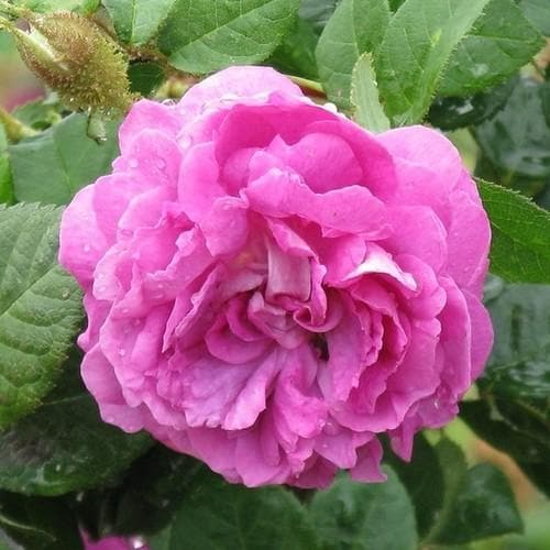 Rosa William Lobb - Old Moss Shrub Rose