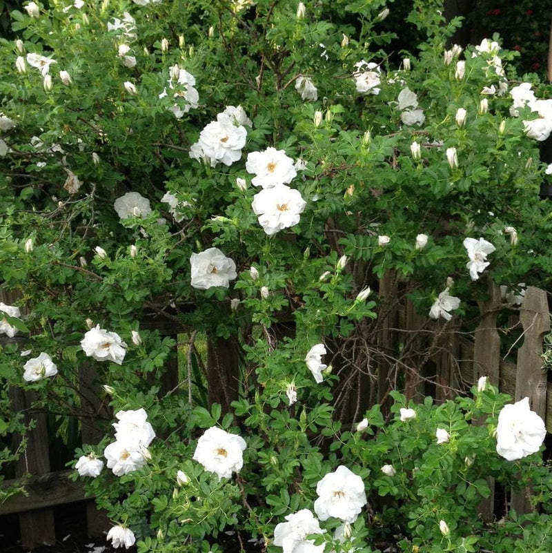 Rosa Blanc Double de Coubert - Future Forests