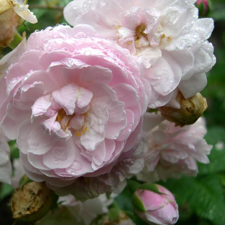 Rosa Blush Noisette - Future Forests