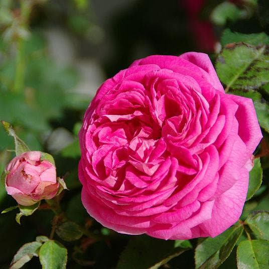 Rosa Cardinal de Richelieu - Future Forests