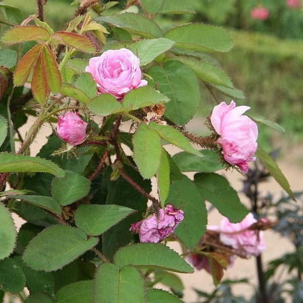 Rosa Centifolia - Future Forests