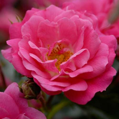 Rosa flower carpet pink future forests rosa flower carpet pink future forests mightylinksfo