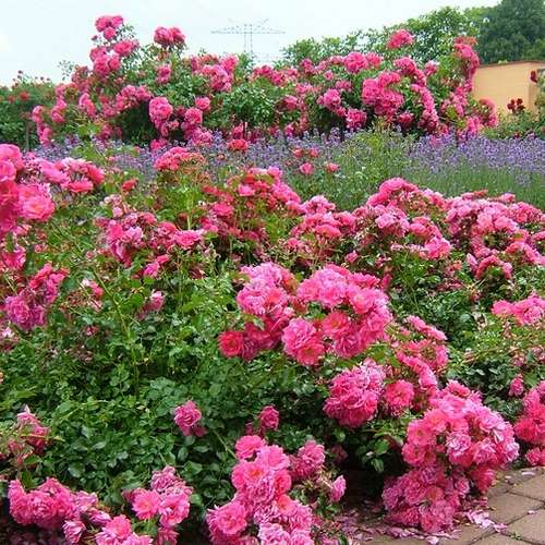 Rosa Flower Carpet Pink - Future Forests