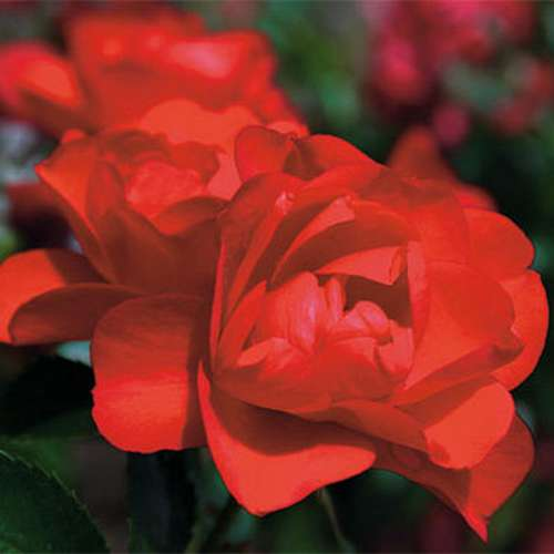 Rosa Flower Carpet Scarlet - Future Forests