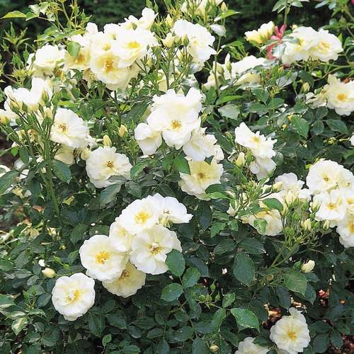 Rosa Flower Carpet White - Future Forests