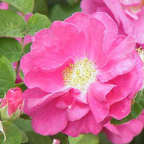 Rosa Gallica Officianalis - Future Forests