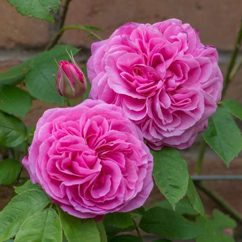 Rosa Gertrude Jekyll - Future Forests