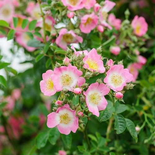 Rosa Kew Rambler - Future Forests