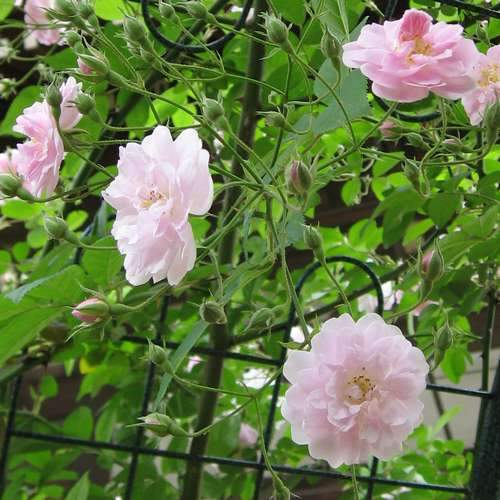 Rosa Paul's Himalayan Musk - Future Forests